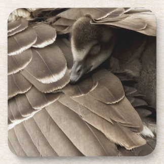 Little gosling all tucked in under mum's wing coaster