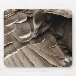 Little gosling all tucked in under mum's wing mouse mat