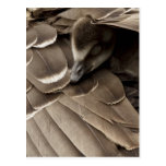 Little gosling all tucked in under mum's wing postcard