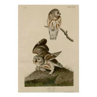 Little Owl Posters