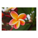 Little Red and Yellow Plumeria 4 Print