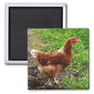 Little Red Chicken  - Free Range Egg Layer Square Magnet