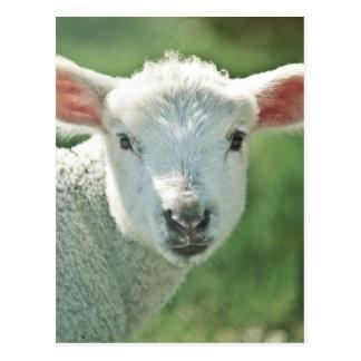 Little White Lamb Postcard