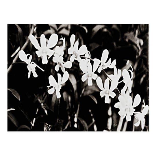 Little White Orchids Postcard