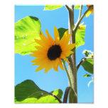 Little Yellow Sunflower 8x10