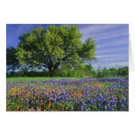 Live Oak & Texas Paintbrush, and Texas Greeting Card
