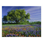 Live Oak & Texas Paintbrush, and Texas Posters