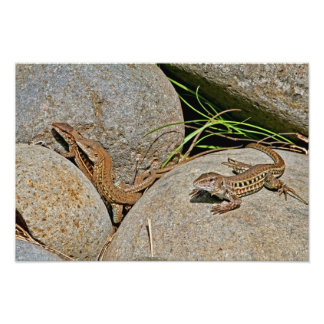Lizards Mating Photo Art