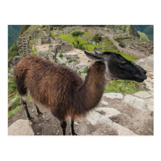 Llama At Machu Picchu, Aguas Calientes, Peru Postcards