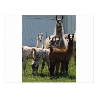 Llama baby group, so cute! postcard