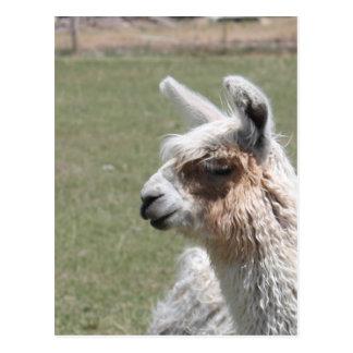 Llama Blush Postcard