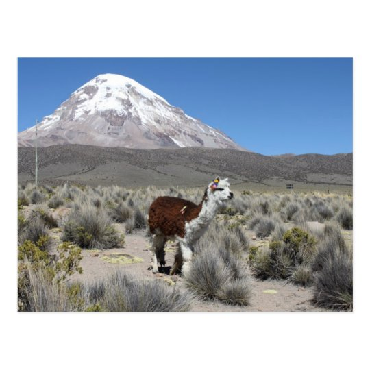 Llama by Snow Sajama Mountain, Bolivia Postcard