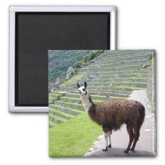 llama looks square magnet