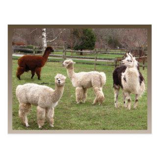 Llama Melange ~ postcard