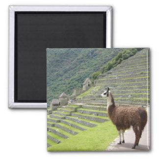 llama square magnet