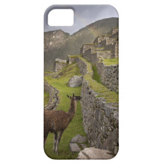 Llama stands on agricultural terraces with iPhone 5 covers