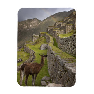 Llama stands on agricultural terraces with magnet