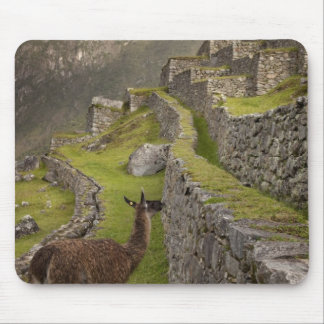 Llama stands on agricultural terraces with mouse mat