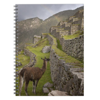 Llama stands on agricultural terraces with notebooks