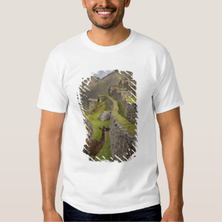 Llama stands on agricultural terraces with shirts