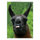 Llama with Attitude - Sticking out Tongue Photo Greeting Card