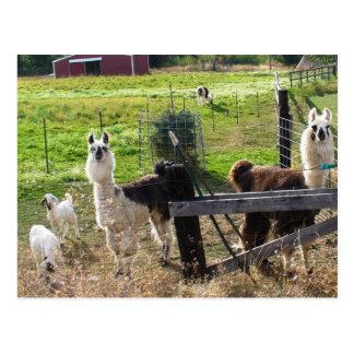 Llamas and Goats Postcard