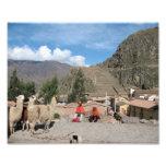 Llamas at Ollantaytambo, Peru Photographic Print
