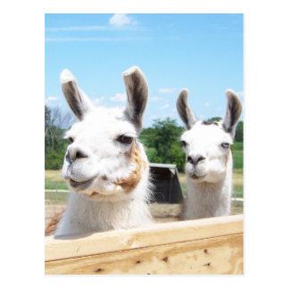 Llamas Postcard
