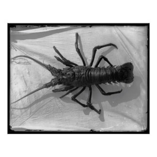 Lobster Black and White Photograph Poster