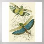 Locusta Cristata (lower), Locusta flava (upper) Posters