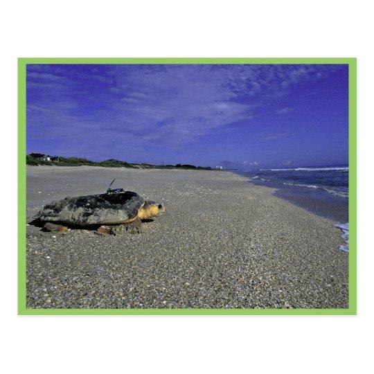 Loggerhead Sea Turtle at Archie Carr National Wild