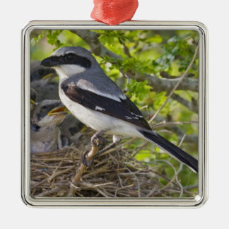 Loggerhead Shrike Lanius ludovicianus) adult Christmas Ornament