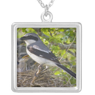 Loggerhead Shrike Lanius ludovicianus) adult Silver Plated Necklace