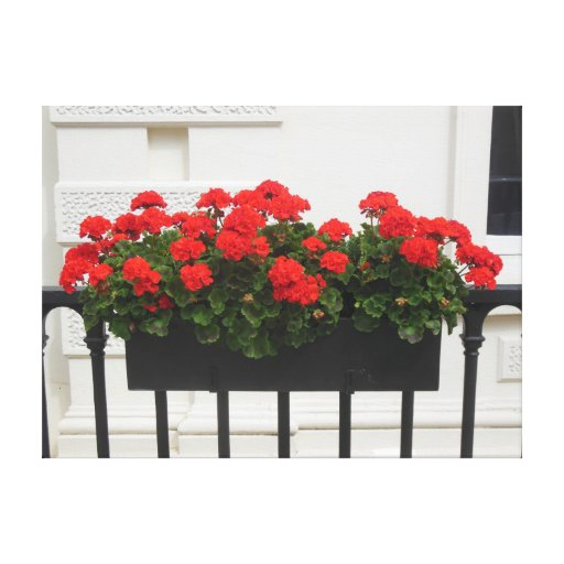 London Geraniums Gallery Wrapped Canvas