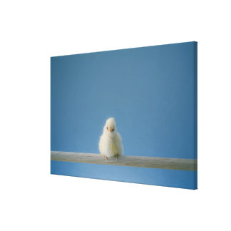Lone Baby Pet Chicken Sitting on a Perch Canvas Print