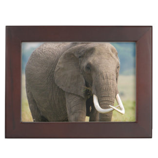 Lone Elephant (Loxodonta Africana) Feeds Keepsake Box