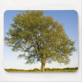 Lone maple tree in hay field at Raymond Farm, Mouse Mat