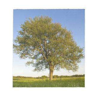 Lone maple tree in hay field at Raymond Farm, Notepad