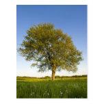 Lone maple tree in hay field at Raymond Farm, Postcard