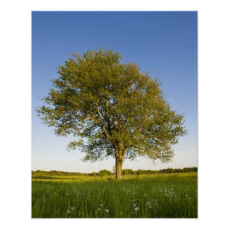 Lone maple tree in hay field at Raymond Farm, Poster