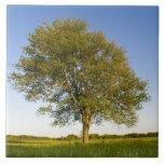Lone maple tree in hay field at Raymond Farm, Tile