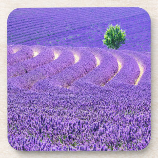Lone tree in Lavender Field, France Coaster
