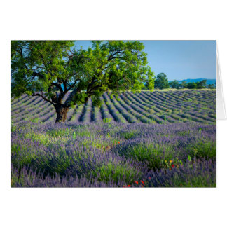 Lone tree in purple field of lavender card