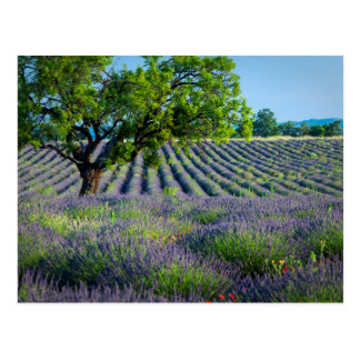 Lone tree in purple field of lavender postcard