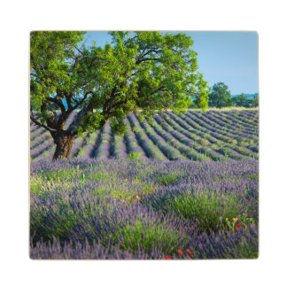 Lone tree in purple field of lavender wood coaster