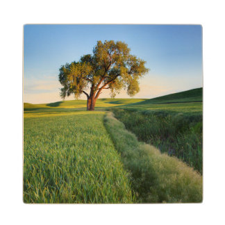 Lone tree surrounded by rolling hills of wheat 2 wood coaster