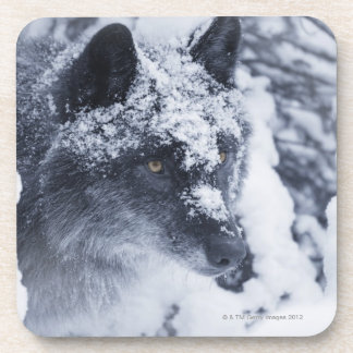 Lone wolf in snow coasters