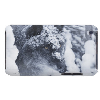 Lone wolf in snow iPod touch cases