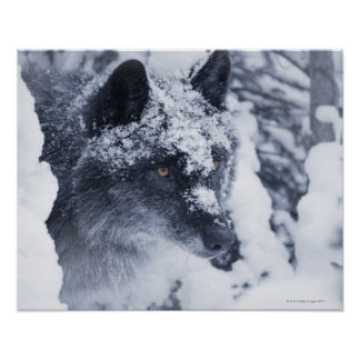 Lone wolf in snow print