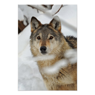 Lone Wolf in Snow Poster
